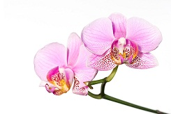 1phalaenopsis_orchid.jpg